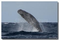 Physeter macrocephalus (PedroMadruga) Tags: ocean sea wild wildlife pico breaching azores aores breach spermwhale cachalote naturesfinest openocean specanimal pedromadruga southofpico suldopico brixa