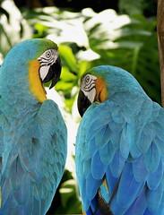Bird Talk (Mondmann) Tags: travel brazil tourism nature paraná birds animals brasil wildlife parrots iguazu iguacu roygbiv araras birdpark iguaçufalls fozdoiguaçu parquedasaves sonydsch2 animalkingdomelite diaadiabrasileiro