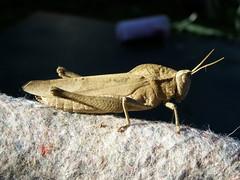 Tucura (erjolp) Tags: bichos langosta tucura