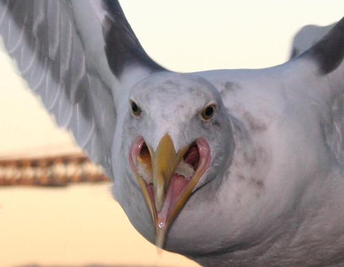 Beware the Angry Gull!