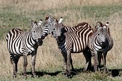Fashionable in Stripes (Picture Taker 2) Tags: africa wild nature beautiful animals outdoors colorful pretty native wildlife zebra curious wilderness plains upclose mammals herd wildanimals blueribbonwinner africaanimals masimarakenya
