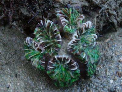 Euphyllia ancora or glabrescens