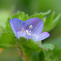 speedwell square (Jooliree) Tags: blue france flower green square weed pollen creuse laforge limousin fgc speedwell flickrgolfclub macroflowerlovers