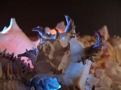 Spiney Alien (frazz46) Tags: macro seashells raw shell lightbox lighteffects splendiferous imagepoetry fineartphotos mywinners supershots platinumphoto anawesomeshot pdpnw ultimateshot diamondclassphotographer citrit exemplaryshots theunforgettablepictures betterthangood explore2008 grandfatherscollection