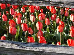 PICT1432 (dwolfphoto) Tags: flowers stilllife tulipfestival