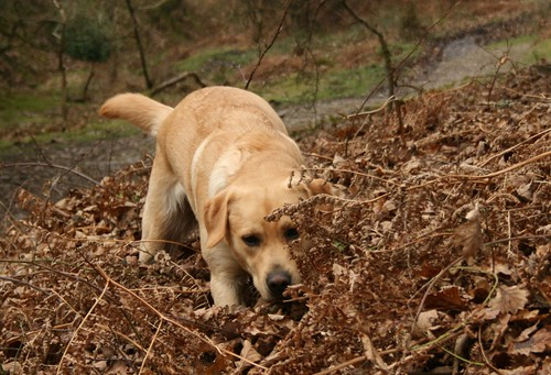 Labrador hunting in leaves