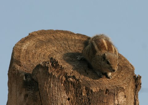 squirrel on chopped tree-trunk