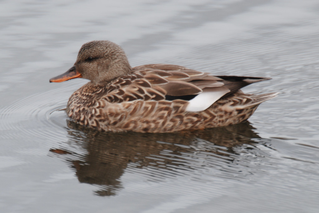 Pictures of Gadwall -- Animal Photos!