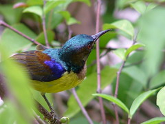 Plain-Throated Sunbird by Mary M Peterson