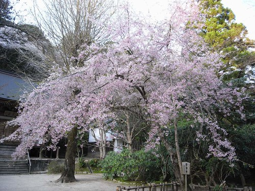 室生寺(桜)-31