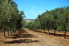 Olive Trees Alkoomi Feb 2008 # 1 (AdamsWife) Tags: trees landscape australia vineyards rows olives westernaustralia olivetrees frankland franklandriver cranbrookshire australianolives
