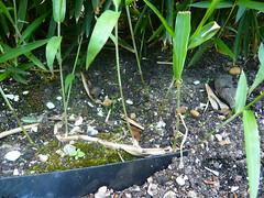 terre pour bambou