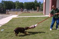 sleeve 001 (clovergecko1) Tags: doberman guinevere dobermann schutzhund bitesleeve bitework guineveredoberman