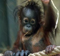 orangutan Ouwehands JN6A9547 (j.a.kok) Tags: orangutan orangoetan orang ouwehands ouwehandsdierenpark ouwehandszoo mammal zoogdier primaat primate ape aap monkey sumatra borneo mensaap sabbar juwel