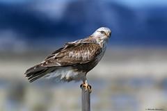 Rough Legged Hawk (E_Rick1502) Tags: