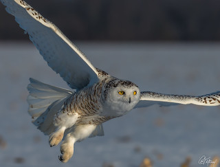 Snowy Owl in flight (explored)