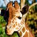 Reticulatad Giraffe (Nogeyama Zoo) : アミメキリン(野毛山動物園)