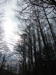 An Imaginary Forest #237 (tt64jp) Tags: 日本 長野 戸隠 自然 森 japan nagano togakushi nature forest 秋 autumn 木 tree カラマツ 落葉松 唐松 japaneselarch larch シルエット silhouette