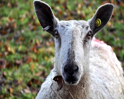 sheepresize