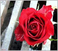 herbstliche Rosenschönheit