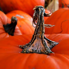 Happy Thanksgiving to all my flickr friends (Darwin Bell) Tags: orange pumpkin soe scavengerhunt supershot twtme 25faves mywinners abigfave platinumphoto anawesomeshot macroaward colourartaward twtmesh370703