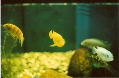 The life aquatic (che moleman) Tags: pet pets fish fern film 35mm canon aquarium store underwater ae1 che cichlids canonae1 petstore moleman camacho chemoleman ferncamacho
