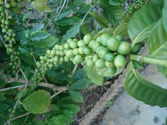 Unripe Coffee Fruit