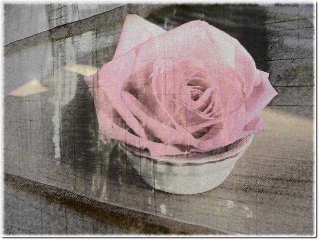 Vieille rose en vieux rose