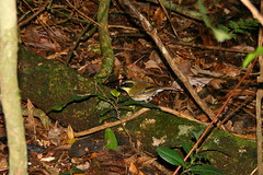 bird.. (Gethin Hill) Tags: bird forest rainforest australia qld lamingtonnationalpark yellowthroatedscrubwren