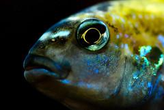 portrait fish macro aquarium tank fisch makro melanochromisauratus auratuscichlid türkisbuntbarsch