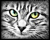 Portrait of an unruly (sgatto) Tags: cat unruly aplusphoto photofaceoffwinner mcb1419