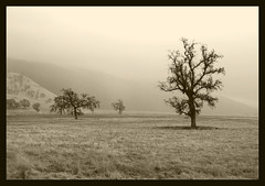 Oaks in the Mist (sandy.redding) Tags: california blackandwhite landscape searchthebest hwy58 explored tokinaatx124prodx shotwithmikebyrne