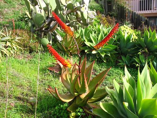 Aloe ferox?  I think so.