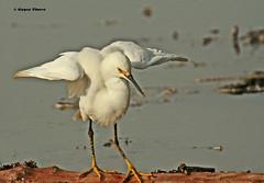Snowy Egret (Gypsy Flores Photography) Tags: california santacruz beach water egret snowyegret gypsyflores specanimal mdpd avianexcellence mdpd108