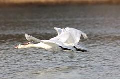 Swansong (jcAOY) Tags: swan d2x longisland northfork nikon800mm