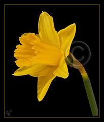 Daffodil (F-2) Tags: flowers light flower yellow wales digital canon garden studio early spring bravo flash tripod january grow william tent adobe dslr lighttent daffodils 580ex strobe manfrotto wordsworth cs3 williamwordsworth amaryllidaceae 333views dafs canoneos5d eos5d narcissuspseudonarcissus magicdonkey aplusphoto photoshopcs3 flickrenvy cenhinenbedr adobecameraraw431 055cb professionaltripod