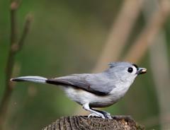 IMG_2093_DxO_RAW (leshoward) Tags: bird titmouse tuftedtitmouse