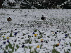 ducks fooled by winter