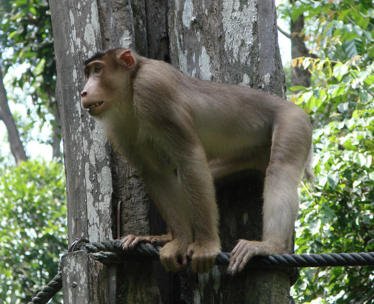 nature animals of pig tailed monkey photos
