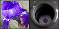 Irises (piX1966) Tags: fdsflickrtoys diptych playonwords mumsgarden project365 commoniris practikamanualcameralens