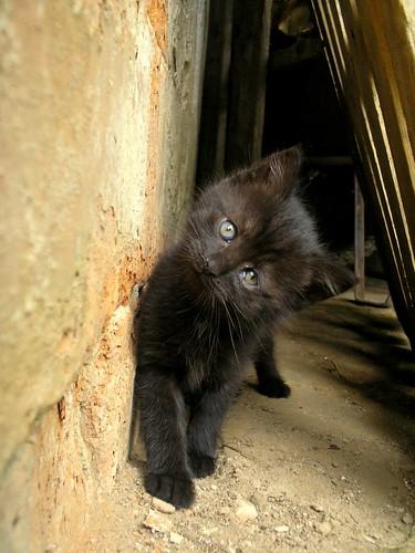 フリー画像| 動物写真| 哺乳類| ネコ科| 猫/ネコ| 子猫| 黒猫|     フリー素材|