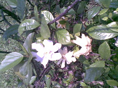 [想起小時候]濃郁香氣的梔子花