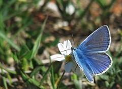 Plebejus argus (Stefano Ruggeri) Tags: sardegna italy macro nature butterfly italia sardinia natura palau farfalla argo plebejusargus portopollo licenidi floraefaunadellasardegna beautifulmonsters