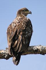 Juvenile Bald Eagle (Manincognito) Tags: calgary canon rebel golden eagle bowriver goldeneagle fishcreekpark xti specanimal