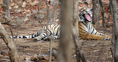 Her Royal Highness, Princess of Ranthambhore (Koshyk) Tags: india sleep wildlife tiger yawn sanctuary tigress rajasthan ranthambhore sawaimadhopur ranthambhorenationalpark projecttiger