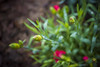 IMG_1212 (kndynt2099) Tags: kangaroopaws flowers anigozanthos