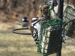 Male Hairy Woodpecker with a Chickadee in the background IMG_6978 (Ted_Roger_Karson) Tags: canonpowershotsx700hs 30xzoom canon powershot sx280 hs northern illinois back yard friends backyard animals birds bird feeder seed cake suet miniature compact pocket camera telephoto thisisexcellent twop test photo hand held handheldcamera minicompactdigitalpocketcamera cardinal woodpecker