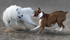 Boxer_01-12 (JD's Images) Tags: fortfunston bxer dogs play samoyed test