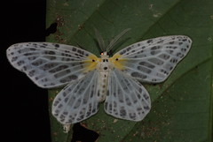 Moth (pbertner) Tags: park rainforest basin national jungle borneo maliau