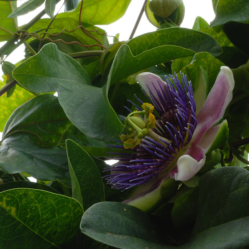 "Passiflora x belotii aka ""Empress Eugenie"""